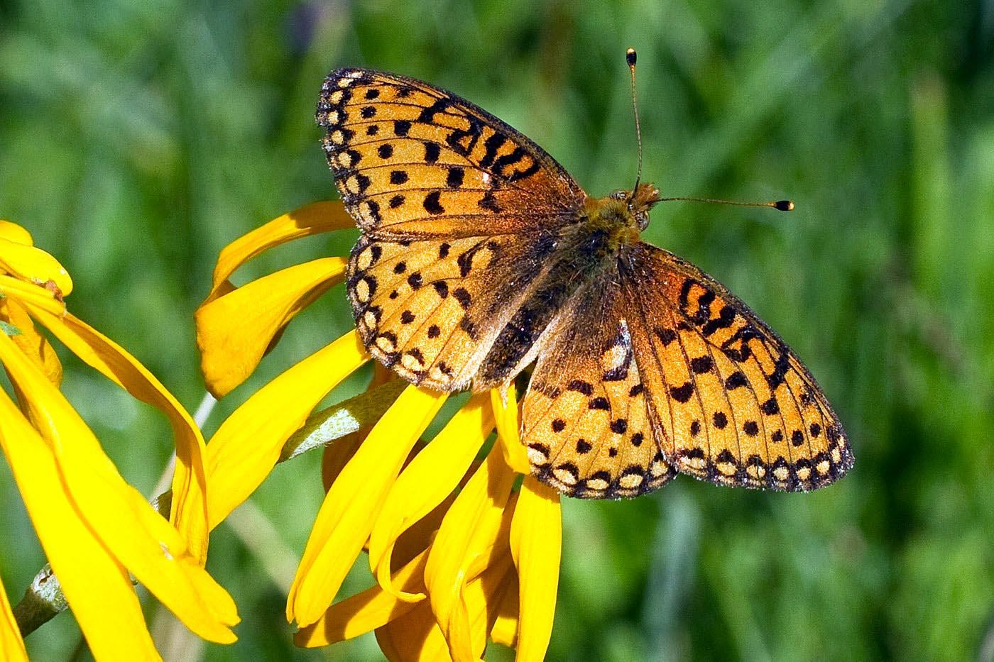 hymenoxys-hoopesii-1439 – Native Plant Society of New Mexico