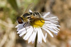 fly-erigeron-flagellaris-8147