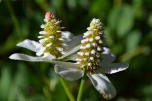 yerba-mansa-flower-nps
