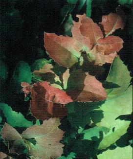 Creeping Mahonia – Native Plant Society of New Mexico